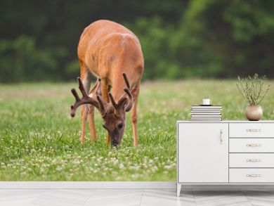 white-tailed deer buck with velvet covered antlers in summer