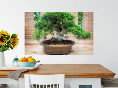 miniature green bonsai tree in iterior. juniper bonsai