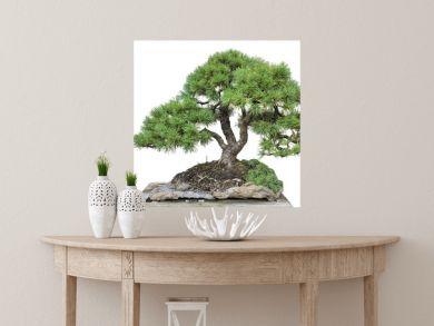 Bonsai of a pine in pot