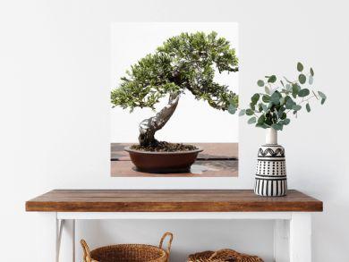 Juniperus sabina bonsai on a wooden table
